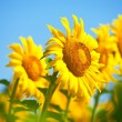 Sunflowers field in summer, in Central Italy, under blue sky — Stock Photo