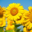 Sunflowers field in summer, in Central Italy, under blue sky — Stock Photo #40196265