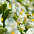 Stock Photo: White begoniin flowerbed