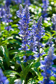Purple flowers of Hyssopus officinalis (Hyssop) close up. — Stock Photo