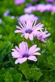 African daisies on flowerbed — Stock Photo