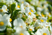 White begonia in a flowerbed — Stock Photo