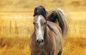 Running horse autumn. — Stock Photo