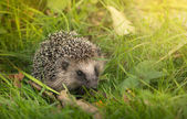 Forest Hedgehog — Stock Photo