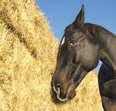 Horse at hay, straw — Stock Photo