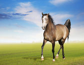 Horse runs trot on morning field — Stock Photo