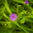 Inflorescence of wild geranium in  grass — Stock Photo