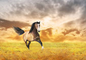 Running galloping horse on background of autumn dawn — Stock Photo