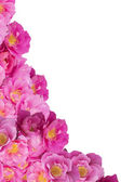 Pink Bush Roses corner of white background — Stock Photo