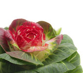 Red decorative spring cabbage, floral, white background — Stock Photo
