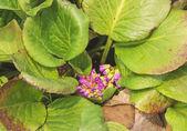若いハートリーフバーゲニア — ストック写真