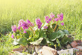 Spring bergenia cordifolia or Elephant ears in sunlight — Foto de Stock