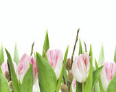 Pink tulips with willow, isolated — Stockfoto