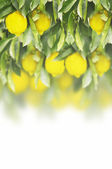 Fresh lemon on the lemon tree with green leaves on withe background,isolated — Stock Photo
