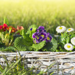 Spring flowers, primroses and daisies on lawn of grass — Stock Photo