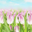 Blooming pink tulips against background of spring sky — Stock Photo