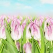 Blooming pink tulips against background of spring sky — Stock Photo #40836311