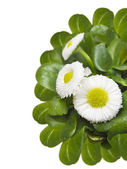 Cute daisy, Bellis perennis, isolated — Stock Photo