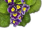 Purple primrose, isolated — Stock Photo