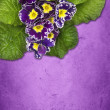 Stock Photo: Primrose on purple background