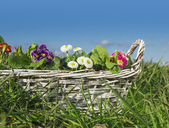 Flowers, Primroses, daisies , in white braided basket in grass on sky background — Stock Photo