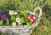 Flowers, Primroses, daisies , in white braided basket in grass ,top view — Stock Photo