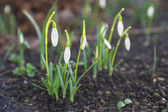 First wild spring snowdrops — Stock Photo