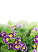 Floral Border with purple primrose, primula, isolated — Stock Photo