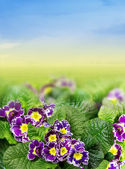 Floral Border with purple primrose, primula in garden — Stock Photo
