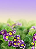 Floral Border with purple primrose, primula — Stock Photo