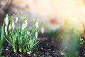 First spring flowers, snowdrops in garden, sunlight — Stock Photo