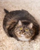 Cat, gray, fluffy, thick lies on light carpet — Stock Photo
