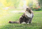 Fluffy cat in garden in sunshine, on background of flowers and cars — Stock Photo