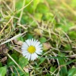 First spring flower Wild daisies,Bellis perennis, in forest glade — Stock Photo #41852385