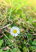 First spring flower Wild daisies,Bellis perennis, in forest glade — Stock Photo