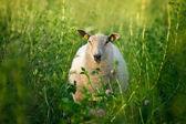 Sheep in tall green grass on summer pasture — Zdjęcie stockowe