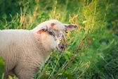 Small cute spotted baby lamb in height Grass — Stock Photo