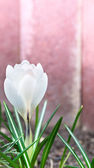 White crocus amid the pink walls in spring garden — Stockfoto