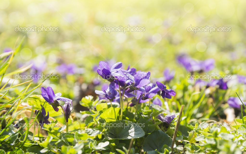 violettes sauvages sur prairie ensoleill e fleurs de. Black Bedroom Furniture Sets. Home Design Ideas