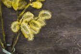 Yellow pussy willow with green bow on old wood — Stock Photo