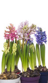 Colorful hyacinths flowers in pots, isolated — Stock Photo
