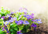 Purple small flowers in  garden on sunshine — Stock Photo