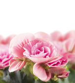 Pink begonia flowers, isolated — Stock Photo