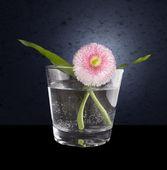 Pink daisy s dvěma green leafs v sklenici vody na tmavě modrém pozadí — Stock fotografie
