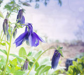Blue columbine flowers in garden, toning — Stock Photo
