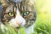 Cat Portrait with different colored eyes in garden on grass — Stock Photo