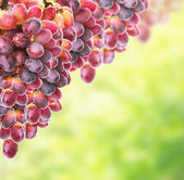 Red yellow grapes on sunny foliage — Stockfoto