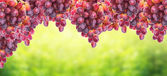 Hanging bunch of grapes on background of sunny foliage, banner — Stock Photo