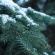 Spruce branches closeup — Stock Photo