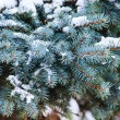 Spruce branches closeup — Stock Photo #22500843